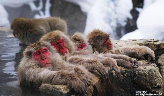 Snow monkeys 530